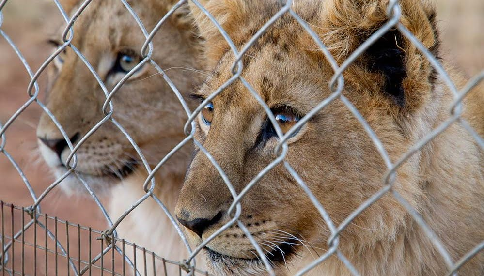 canned-hunting-outdoorhunt