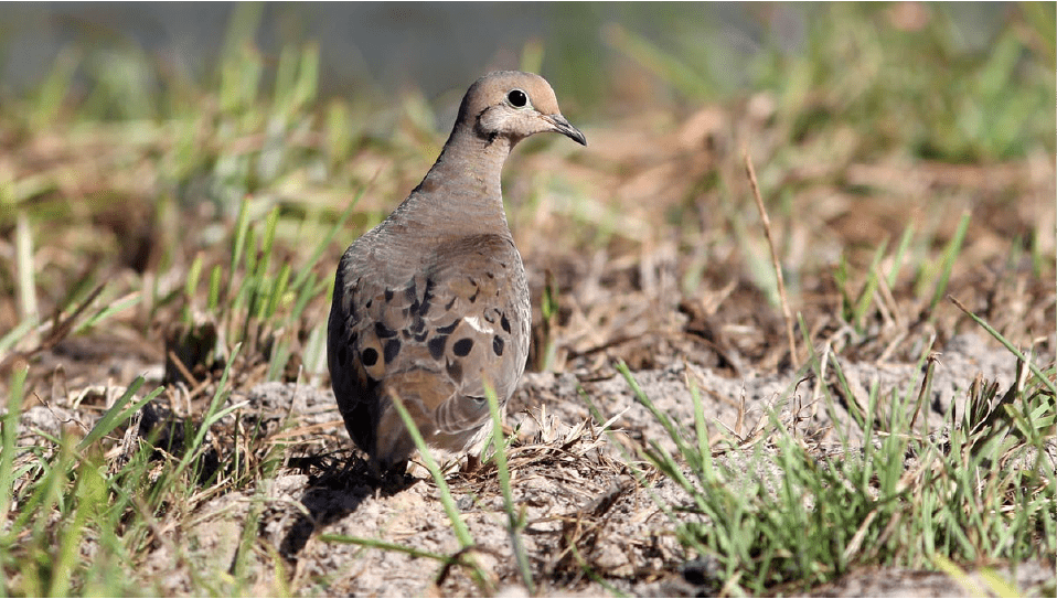 dove hunting lore and decoys
